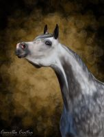 Arabian Grey by CC-PhotoArt