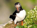 Atlantic Puffin IX by nordfold