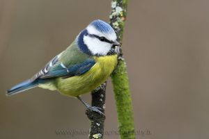 Blue Tit by javierherrera86
