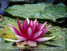 Last water lily this summer... by Yancis