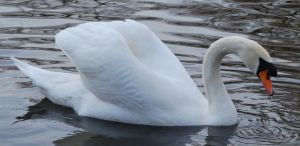 Swan 2 by bluesgrass