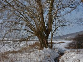 old tree in snow by Dieffi