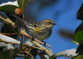 Yellow Rumped Warbler 2 by WhyIsMyKittyAButt