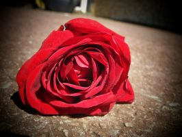 .-:Beautiful Rose:-. by BlindedByLovexXx
