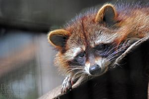 Raccoon by brijome