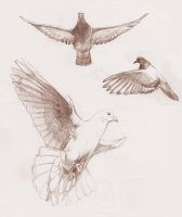 Flying dove studies by redwattlebird