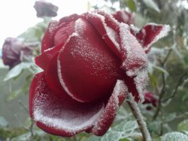 .Beautiful rose on which the snow by Marley-Wee