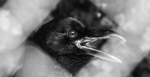 Caged Corvus Corax by Sudlice