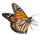 Monarch Butterfly by TheButterflyBabe