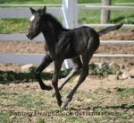 Foal-Carl 35 by FantasyDesignStock