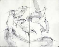 Great Blue Heron sketches by CCampbellArt