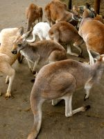 Look at the sheer number of Roos! by jacobjellyroll