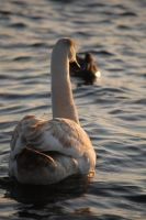 Swans by Imarsis