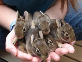 Five Small Bunnies by KaelinaLuvsLomaris