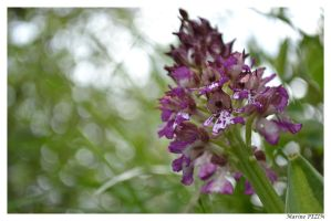 Orchis purpurea by Blondie3960