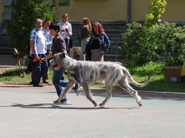 Irish Wolfhound. by laura75325
