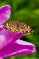 Butterfly by Machinegun-Willy