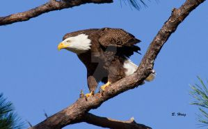 Bald Eagle 2 by Grouper