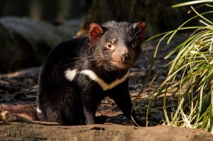 Tasmanian Devil 3 by DanielleMiner