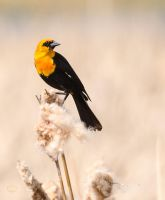 Yellow-Headed Blackbird by JestePhotography