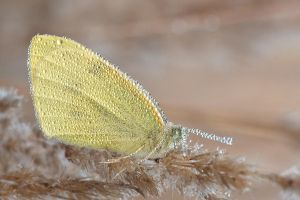 Butterfly in dew by SzymonMic