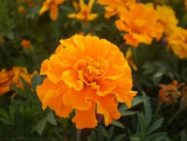 Marigold Memories by Feffafee