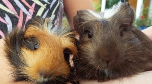 Baby Guineapigs by cacicarseat