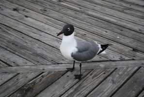 Black Headed Seagull by ReSaturate