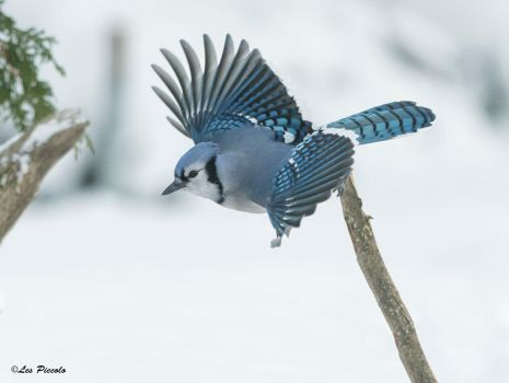 Winter Blue Jay by Les-Piccolo