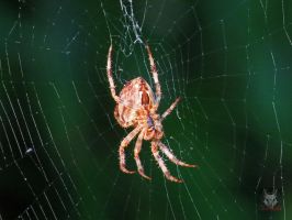 Spider On A Web by wolfwings1