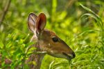 Bushbuck by parallel-pam
