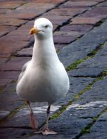 seagull by jovi-marie