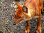 Dhole15 by TheMysticWolf