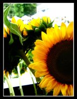 SunFlower 2 by Dr-Rock077
