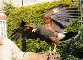 Harris Hawk Stock 9 by LRG-Photography