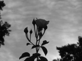 Roses B and W 040215 by acurmudgeon