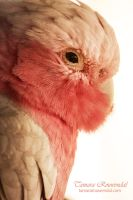 The Galah by TammyPhotography
