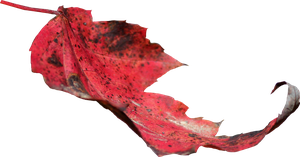 Red Leaf PNG 02 by Thy-Darkest-Hour