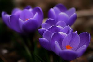 Harbingers of Spring by andras120