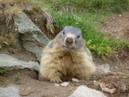 old marmot by Brenso