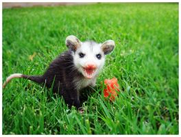 Baby Opossum by Some-Punk-Next-Door