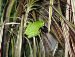 Tree frog by fion-fon-tier
