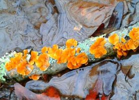 Fire Lichen by CabelaOnly