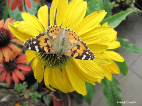 Yellow echicacea with butterfly by BlackCatArtDA