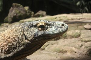 comodo dragon by lindaatje