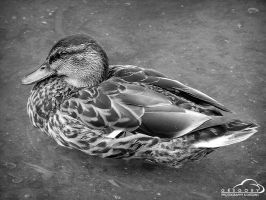 Duckk by Duratec