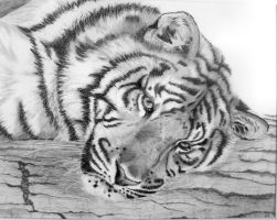 Tiger Resting by graphiteimage