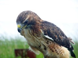 Male Red Tailed Hawk 4 by Malakhite