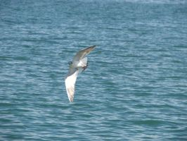Seagull by vodoc