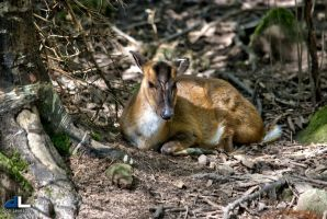 Reeves Muntjac by imonline